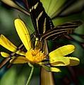 Psychadelic Zebra Butterfly by Chanelle Sheridan