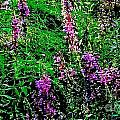 Purple by William Norton