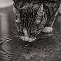 Puddle Drinking Kitty by Angela Stanton