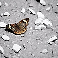 Puddling Butterfly 8766 by Bonfire Photography