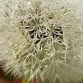 Puff Dandelion by Iris Richardson