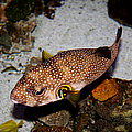 Pufferfish 5d24157 by Wingsdomain Art and Photography