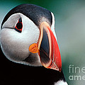 Puffin Head Shot by Jerry Fornarotto
