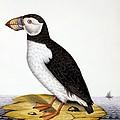 Puffin, Marmon Fratercula, Circa 1840 by French School