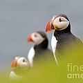 Puffins In Iceland by Erik Mandre