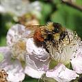 Puffy Bee by Lucy Howard