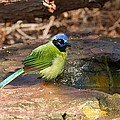 Puffy Green Jay by Stuart Litoff