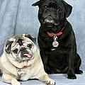 Pug Buddies In Color by Maxine Bochnia