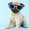 Pug Cool by Greg Cuddiford