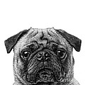 Pug Dog Square Format by Edward Fielding