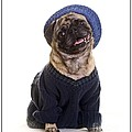 Pug In Sweater And Hat by Edward Fielding