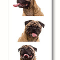 Pug Photo Booth by Edward Fielding