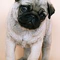 Pug Puppy Dog by John Daniels