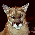 Puma by Gary Gingrich Galleries