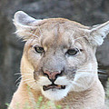 Puma Head Shot by John Telfer