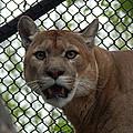 Puma Stare by Laura Elder