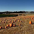 Pumpkin Field by Michael Gordon
