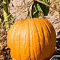Pumpkin Growing In Pumpkin Field by Millard H. Sharp