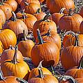Pumpkin Harvest by Sharon Talson