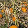 Pumpkin Patch by Becca Buecher