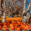 Pumpkin Patch by DJ Laughlin