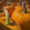 Pumpkin Patch  by Scott Campbell