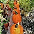 Pumpkins In A Row by Jean Goodwin Brooks