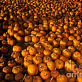 Pumpkins by Ron Sanford