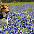 Pup In The Bluebonnets by Lisa Reid
