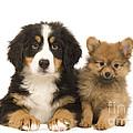 Puppies by Jean-Michel Labat