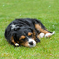 Puppy Asleep With Garden Daisy by Natalie Kinnear