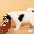 Puppy Dog With Head In Red Shoe by Johan De Meester