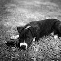 Puppy Eyes In Black And White by David Morefield