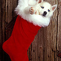 Puppy In Christmas Stocking by Garry Gay