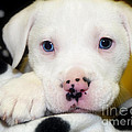 Puppy Pose With 4 Spots On Nose by Peggy Franz
