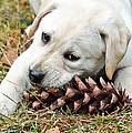 Puppy With Pine Cone by Lisa Phillips