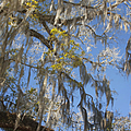 Pure Florida - Spanish Moss by Christine Till