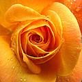 Pure Gold - Roses From The Garden by Brooks Garten Hauschild
