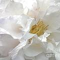 Pure White by Jacklyn Duryea Fraizer