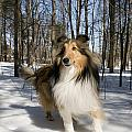Purebred Collie by Gord Horne