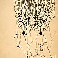 Purkinje Cells By Cajal 1899 by Science Source