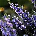 Purple 29987 by Jerry Sodorff