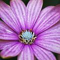 Purple African Daisy by Eti Reid