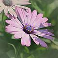 Purple African Daisy by Kim Hojnacki