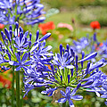 Purple Agapanthas by Lynn Bauer