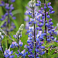 Purple Alaskan Lupines by Stacey May