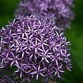 Purple Allium by Denyse Duhaime