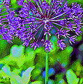 Purple Allium Flower by Karen Adams