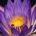 Purple And Bright Yellow Center Waterlily... by Rob Luzier