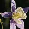 Purple And Cream Columbine Flower by Kenny Glotfelty